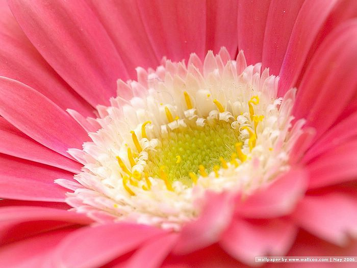 Gerbera Daisy, Macro Flower Photos 6 - Wallcoo.net