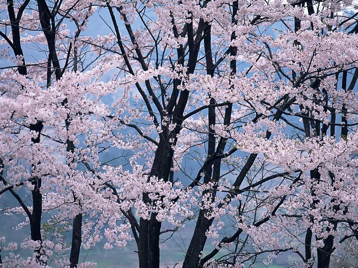 Cherry Blossom, Cherry Tree Wallpaper 20 - Wallcoo.
