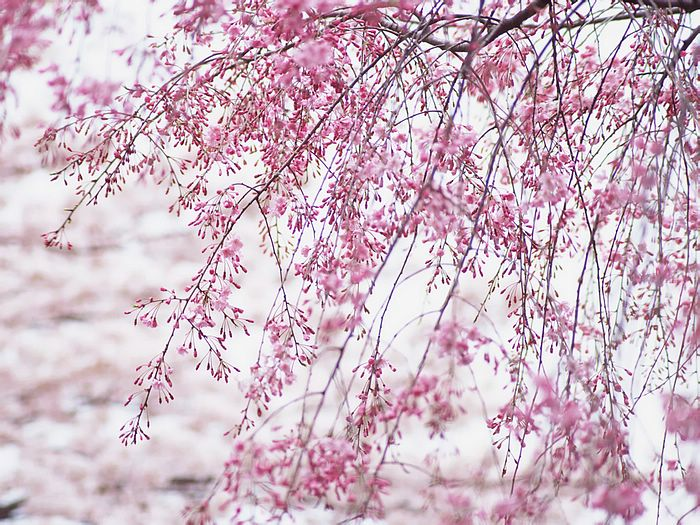cherry blossom wallpaper. Cherry Blossom Viewing in