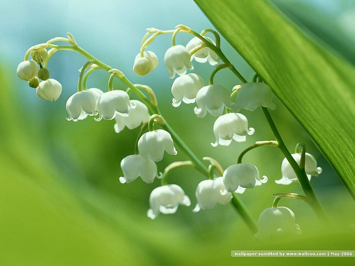 Lily of the valley flower wallpaper lily of the valley flowers