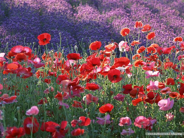 colorful poppies and poppy field  wallcoo, Beautiful flower