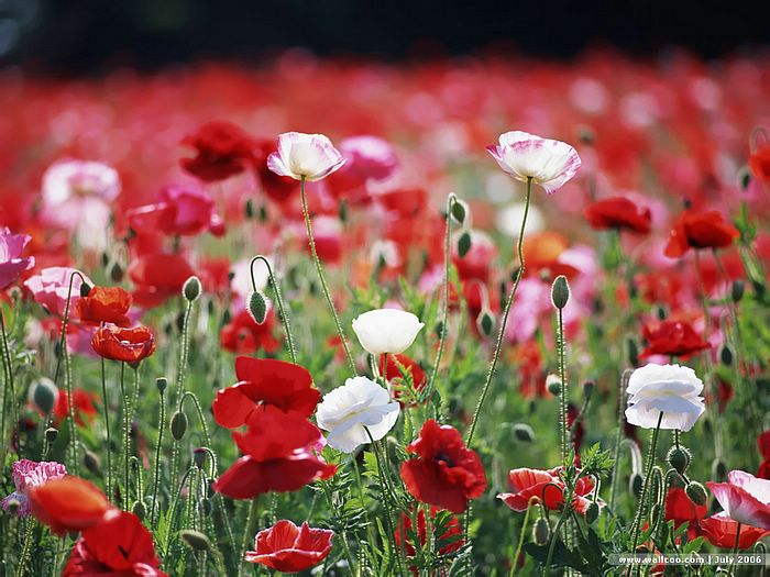 Red and white poppy flower wallpaper 18 wallcoo red and white poppy flower wallpaper 18 mightylinksfo