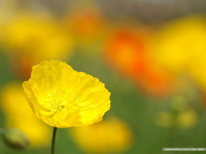 Yellow Poppy Images Yellow Poppy Flower Warm And