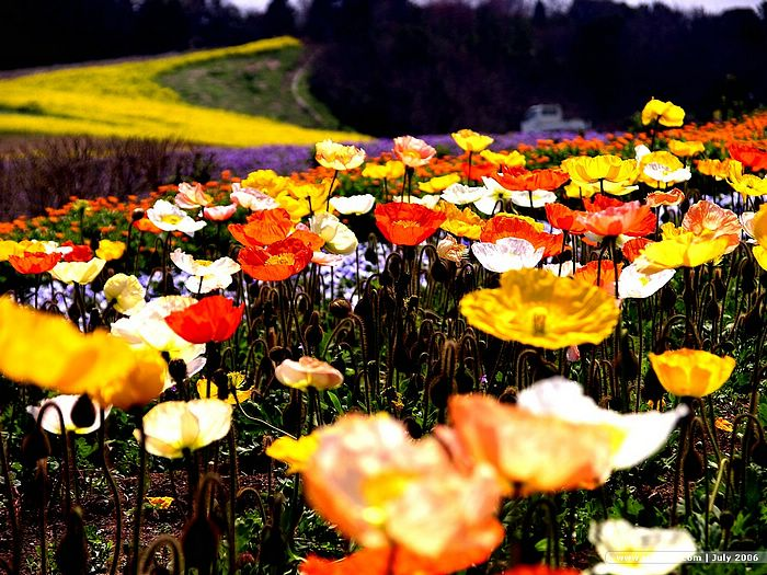 colorful poppies in flower field   wallcoo, Beautiful flower
