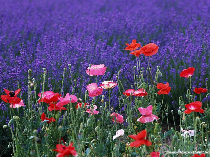 colorful poppies and lavender field pictures   wallcoo, Beautiful flower