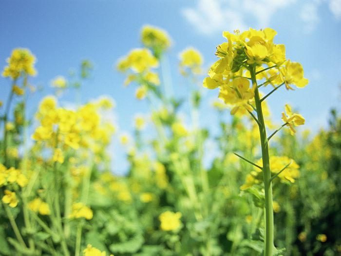Mustard flowers mustard field in japan 17 wallcoo flowers and blue sky colorful flower field vol01 mustard flowers mightylinksfo