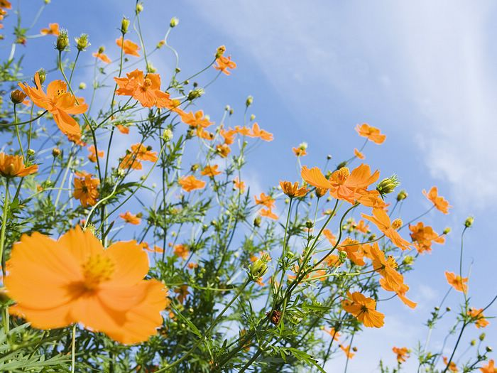 Yellow cosmos in blue sky 35 wallcoo flowers and blue sky brilliant flower field vol03 yellow cosmos mightylinksfo