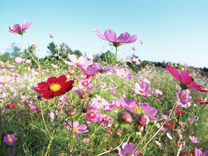 Cosmos Field, Cosmos Flowers 9 - Wallcoo.