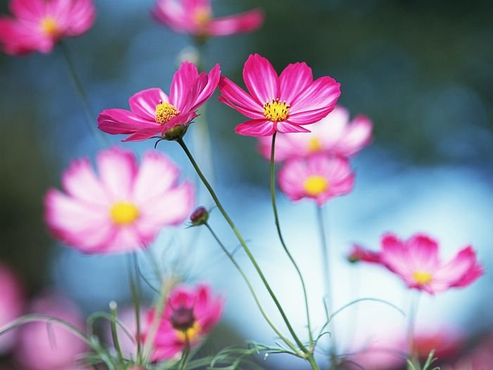 Beautiful Cosmos Flowers Field 5 - Wallcoo.
