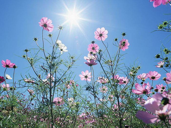Cosmos Flowers in Sunny Sky 8 - Wallcoo.