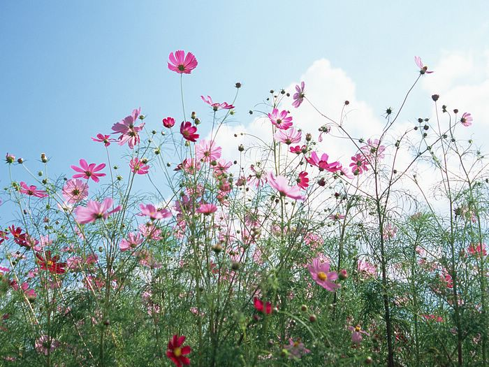 Wild Cosmos Flowers in Autumn 13 - Wallcoo.
