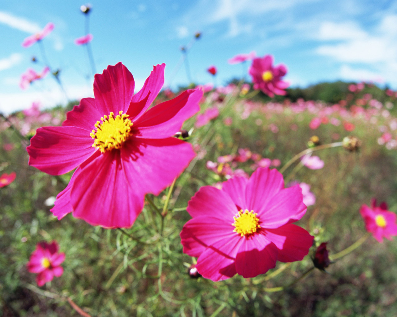 Flowers and Blue Sky : Colorful Flower Field (Vol.01) : Beautiful
