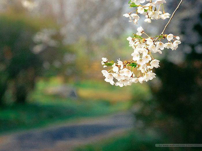 Beautiful cherry blossoms in spring 5 wallcoo blooming season beautiful cherry blossoms in spring picture 5 altavistaventures Image collections