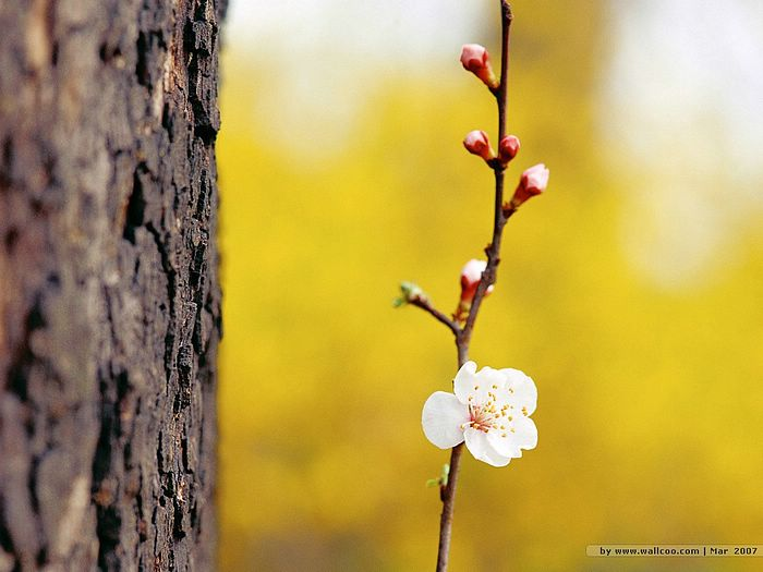 Plum peach and flower buds 10 wallcoo blooming season plum peach and flower buds picture 10 mightylinksfo Images