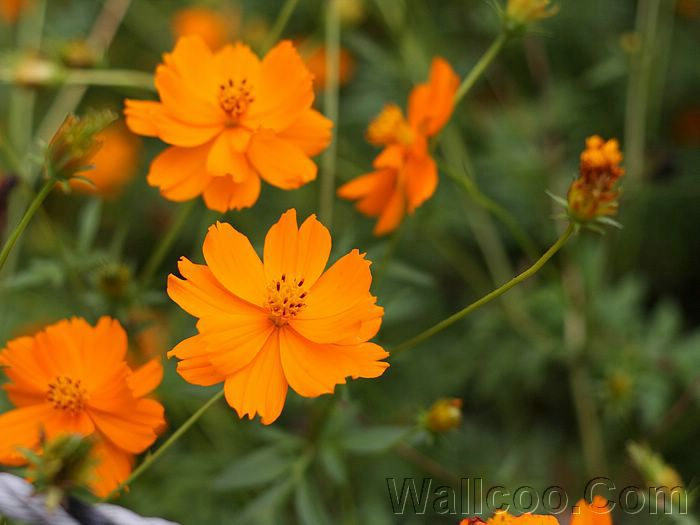 Yellow cosmos flowers photo 16001200 20 wallcoo cosmos flowers in green field vol03 yellow cosmos flowers photo 1600 mightylinksfo