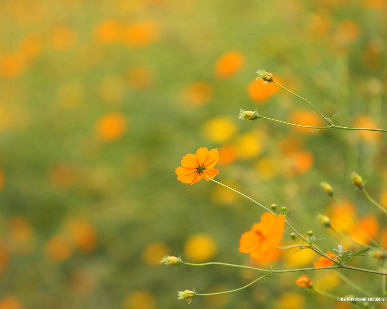 autumn flowers : cosmos flowers, flower photography 1280x1024