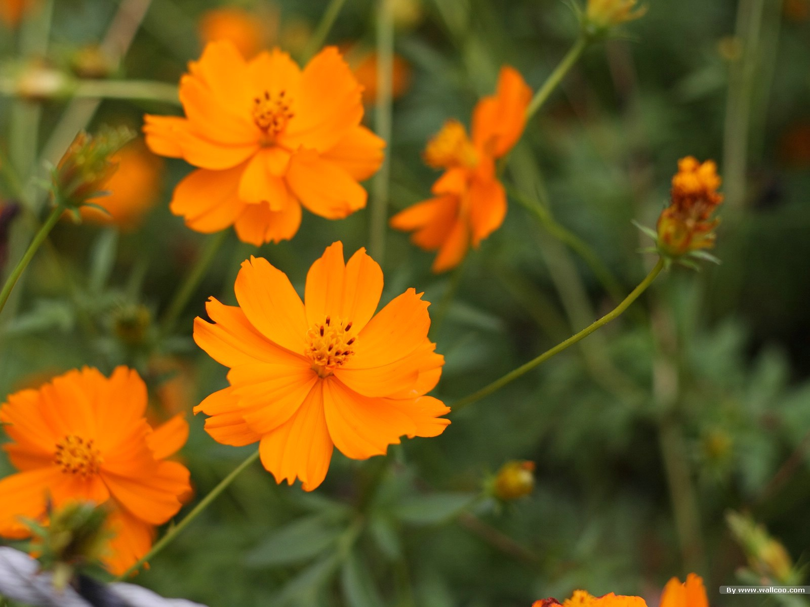 Autumn Flowers Cosmos Flowers Flower Photography