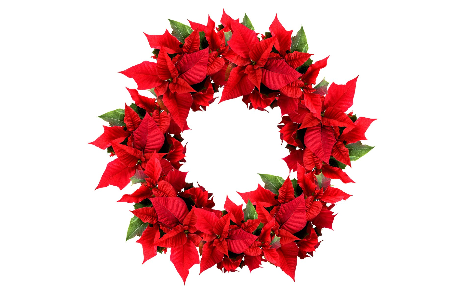 Fabulous Christmas Poinsettia Wreath 1920 x 1200 · 280 kB · jpeg