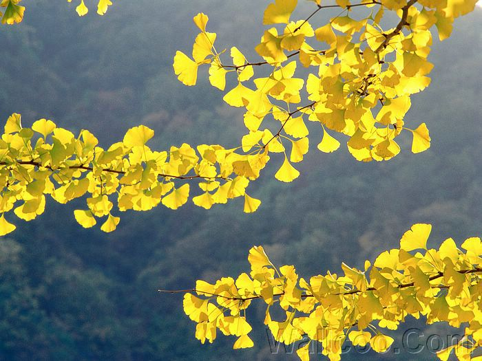 fall foliage wallpaper. fall foliage pictures,