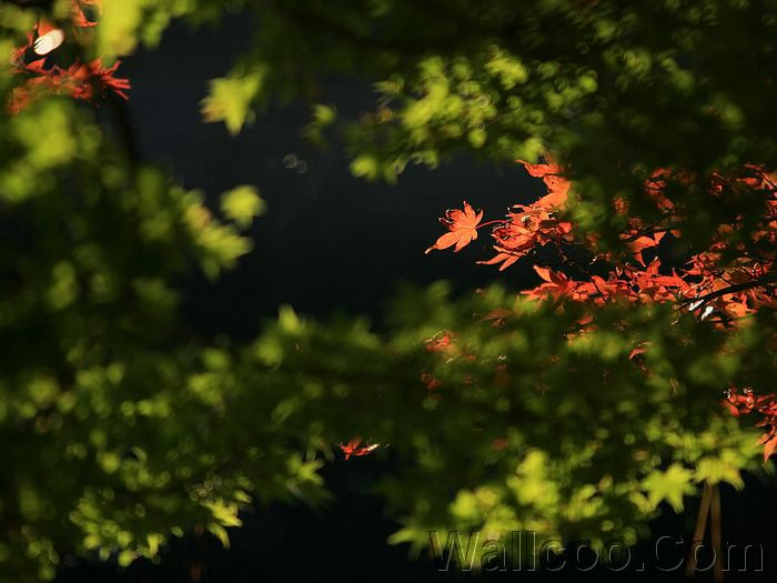 red japanese maple leaves. Photo:Red Maple Leaves
