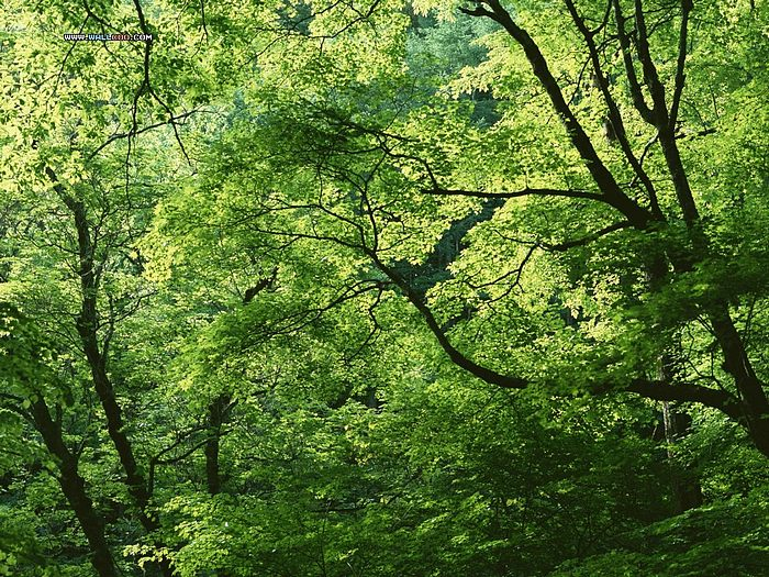 lush green forest wallpaper - photo #16