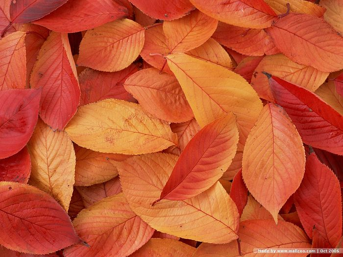 autumn wallpaper. Autumn Leaves Wallpapers,