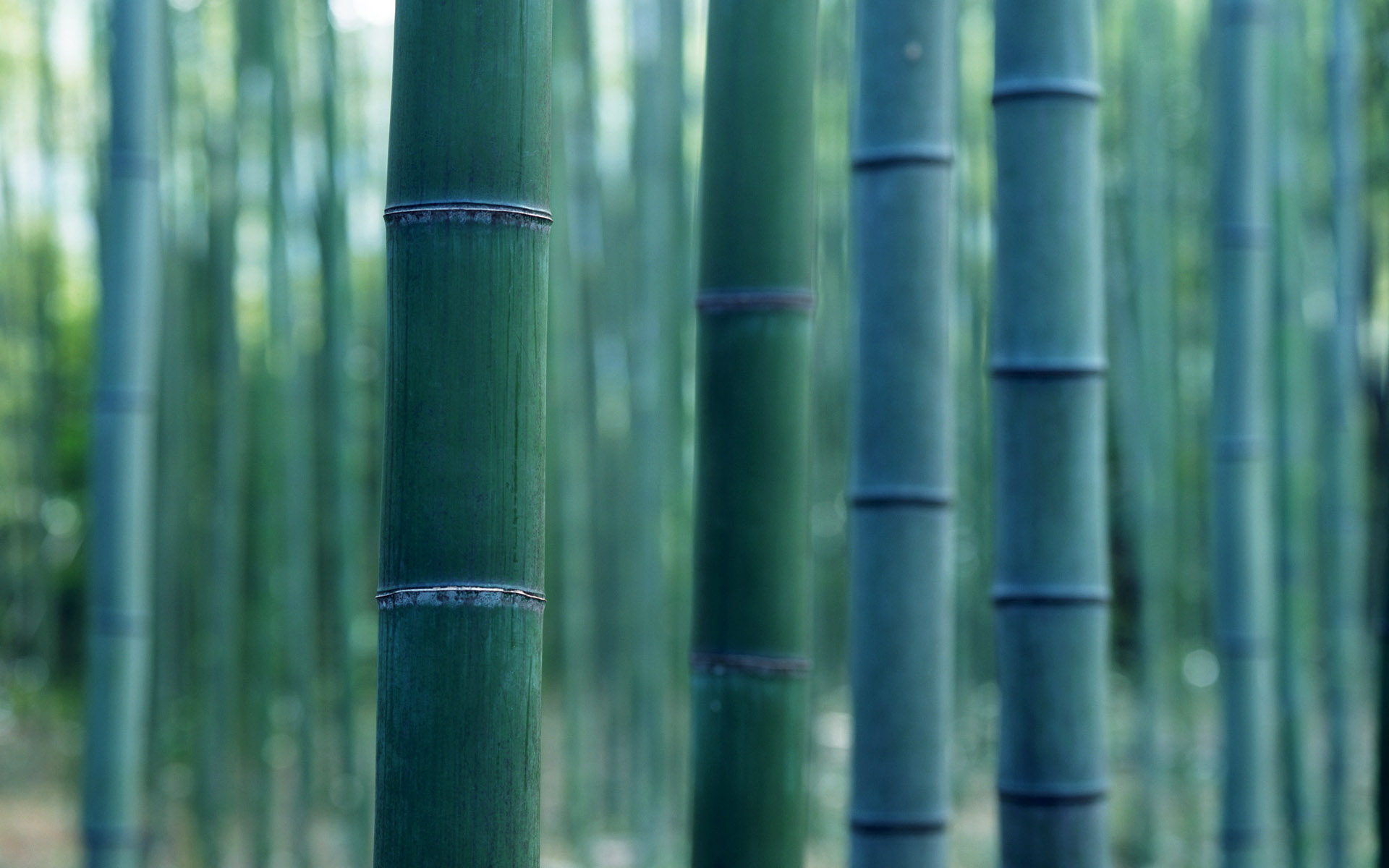 1920x1200 Lush Bamboo Forest Photography 1920x1200 NO.4