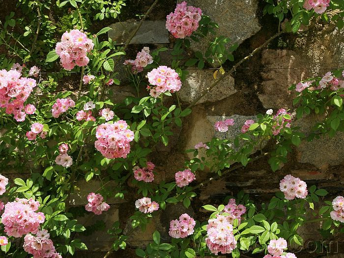 Japanese Gardens: Tranquility And Harmony   Pink Flowers On Wall   Spring Japanese  Garden Wallpaper
