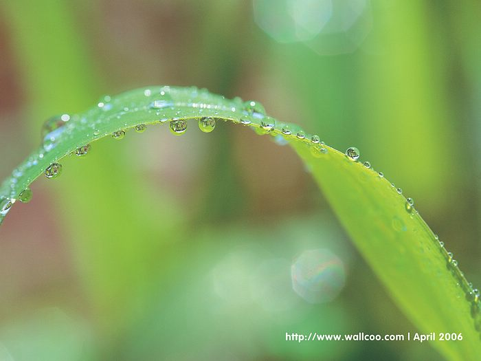 Water Drops on Leaves - dewdrops Leaves Spring Wallpaper2 - Wallcoo.