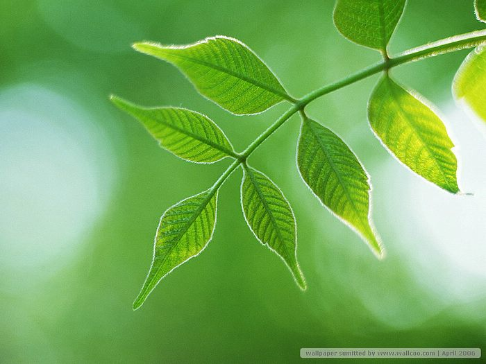 Green leaf picture green leaves wallpapers green leaves photos