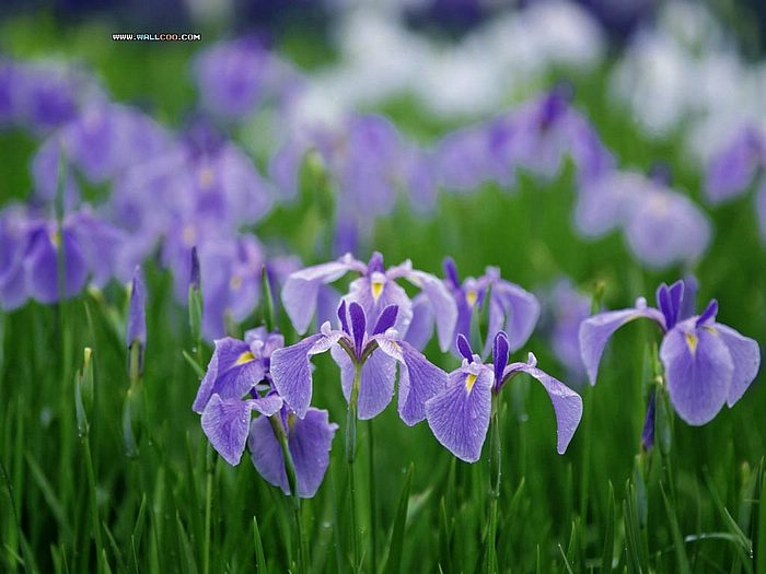 wallpapers nature flowers. flowers wallpaper - Purple