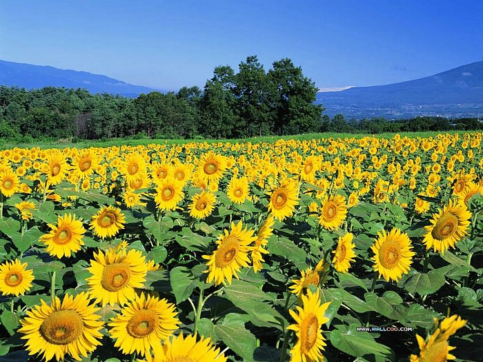sunflowers wallpaper. Sunflower wallpaper