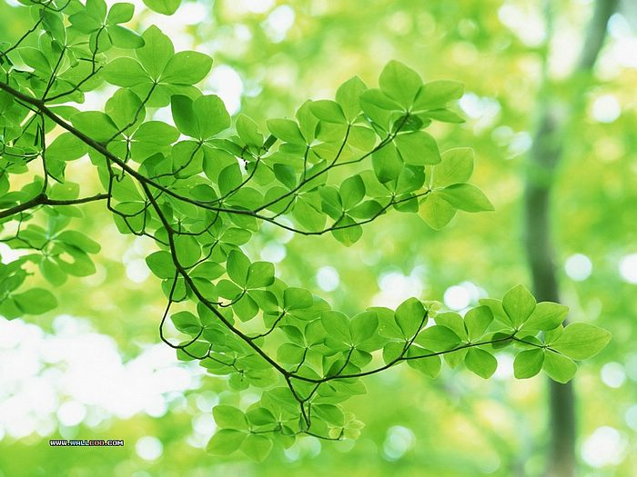 Lush Trees & Green Leaves in summer - Summer Green Leaves wallpaper - Lush