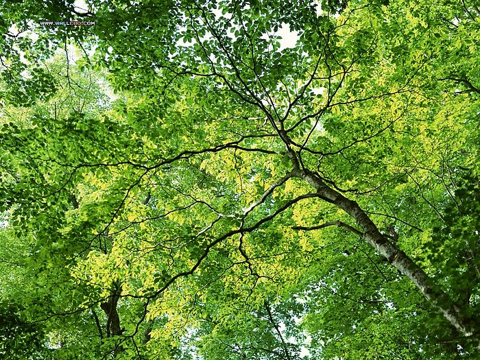Lush Trees & Green Leaves in summer - Lush trees wallpaper - Summer Forest