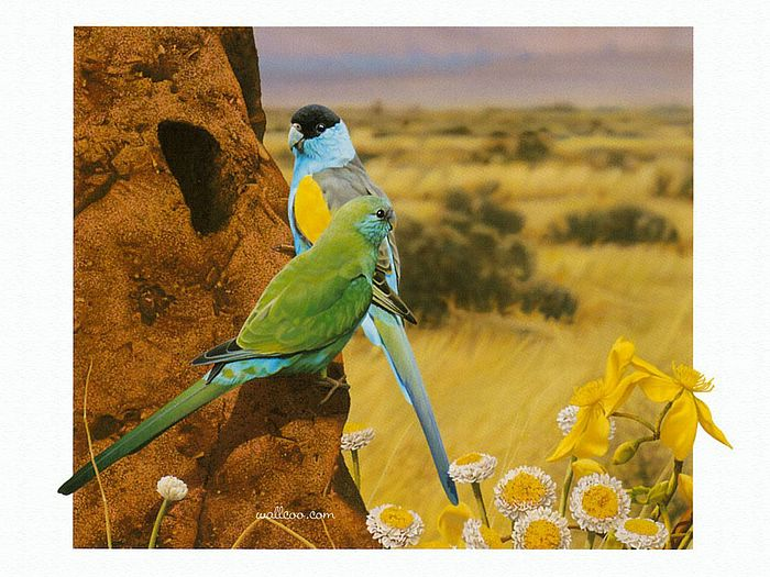 Hooded Parrot Australian Wildlife Painting By Ego Guiotto