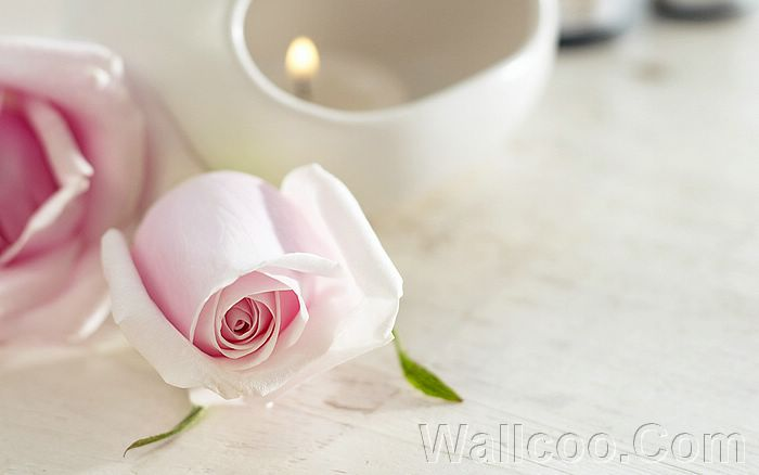 wallpaper pink rose. Pink Rose Wallpaper