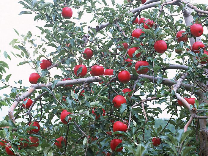 Apples on Tree - Apple Tree Photos 12 - Wallcoo.net