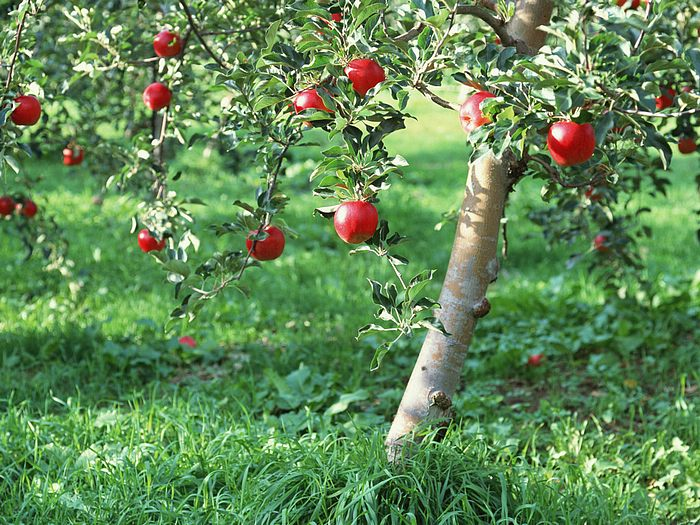Apples on Tree - Apple Tree Photos 13 - Wallcoo.net