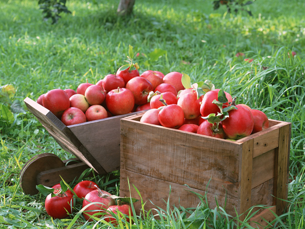Fruit photography apples on tree fresh apples 1024 768 no 8