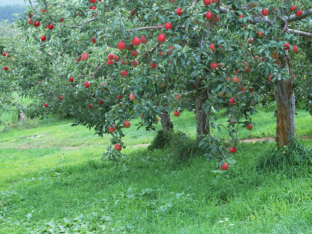 Fruit Photography : Apples on tree, Fresh Apples 1024x768 ...