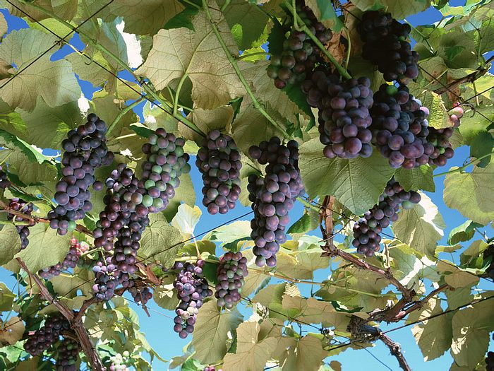 Purple Grape Clusters - Bunches of Grapes on vine 13 - Wallcoo.